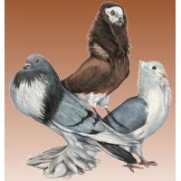 Duiven en Vogels